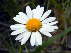 ดอกไม้ประจำเดือนเกิดตามแบบตะวันตก