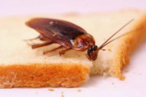 วิธีกำจัดแมลงสาบตัวเล็กๆ